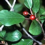 Ceaiuri din medicina populara