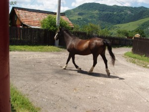 Cal pe stradă